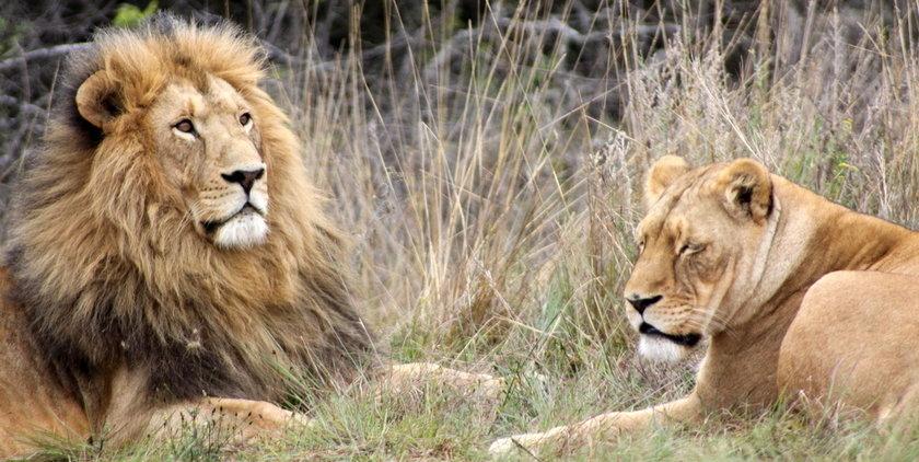 Lions, Krugersdorp game reserve (Photo: Derek Keats)