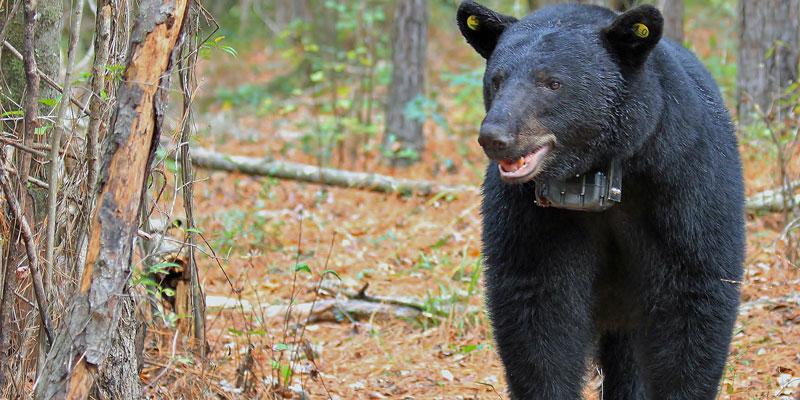 Why is Alabama having so many black bear sightings? - al.com