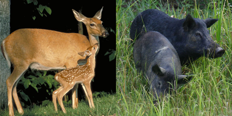Alabama offers new license for bait hunting of deer and pigs