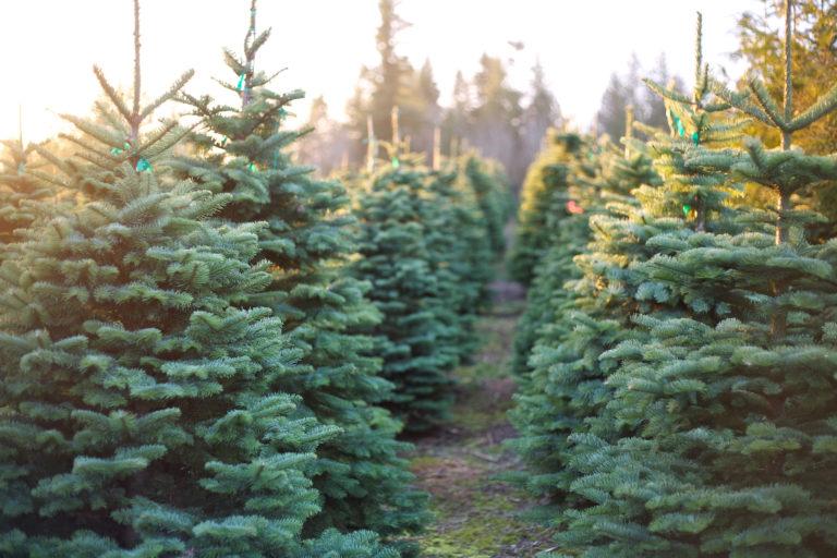 Choose-and-cut Christmas tree farms in Alabama