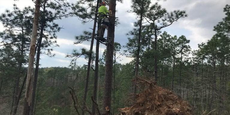 Storms damage important red-cockaded woodpecker longleaf habitat in Alabama